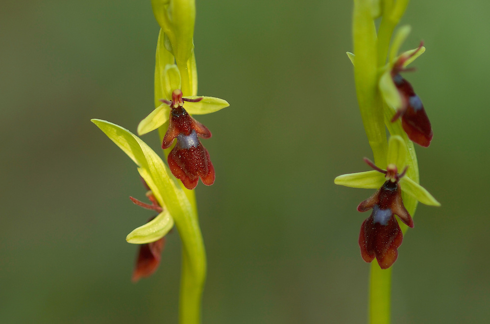 fly orchid; ophrys insectifera; lake takern;  sweden