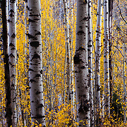 Aspen grove in peak autumn colors on McClure Pass near Marble, Colorado.