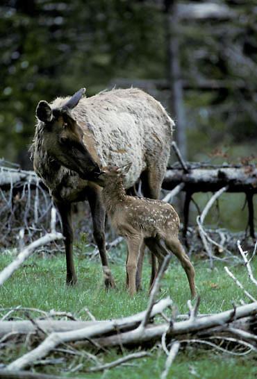 Elk, (Cervus elaphus) cow cleaning newborn calf shortly after birth. Spring.