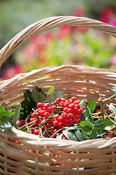 Basket of freshly harvested rowan berries. Mountain Ash. Sorbus aucuparia