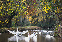© Licensed to London News Pictures. 17/11/2020. Brecon, UK. A Swan opens it's wings on the Monmouthshire and Brecon Canal in Brecon, Wales on a typical Autumn day as blustery and wet weather grips the UK and is forecast to remain throughout the week. Photo credit: Robert Melen/LNP