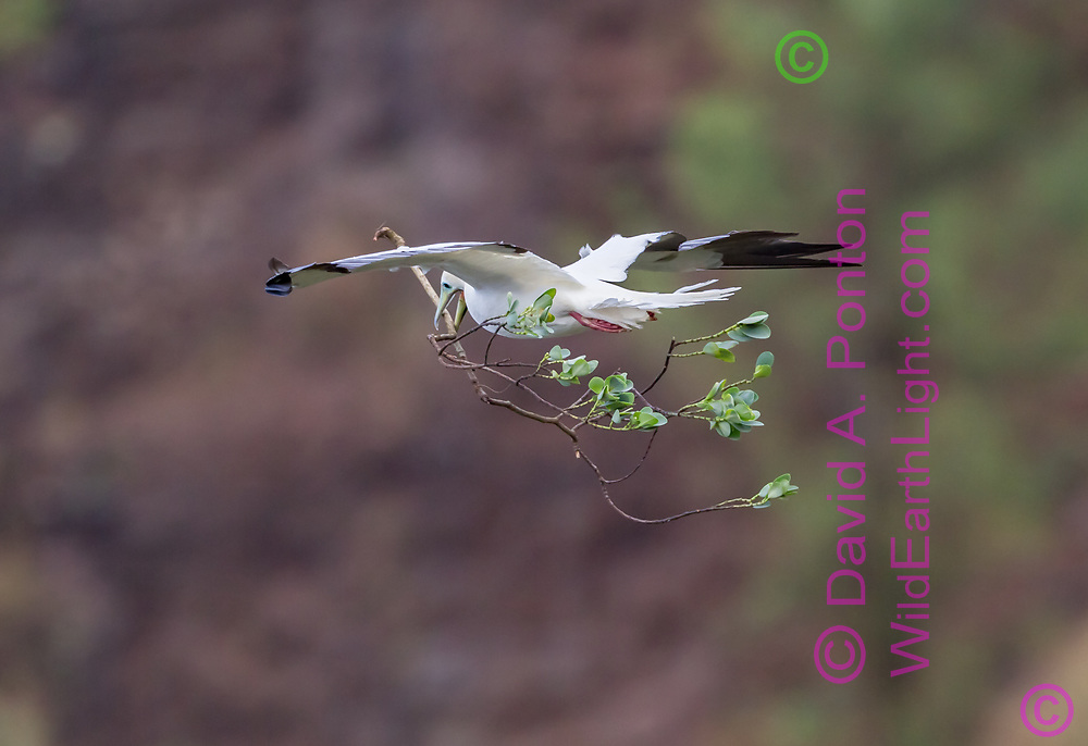 Red-footed booby  flying with large sprig or green foliage for use in nest building, Kauai coast, Hawaii, © David A. Ponton
