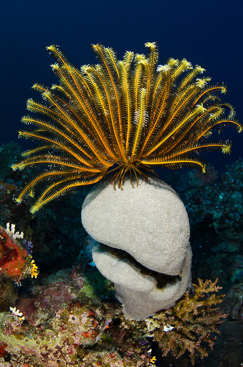 Bennett's Feather Star (Oxycomanthus bennetti)<br /> Rainbow Reef<br /> Fiji. South Pacific