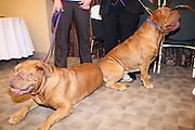 l to r: Darco and Brando T. BeefCake the Dogue de Bordeaux  at The133rd Westminister Kennel Club Dog Show Press Conference announcing The Dogue De Bordeaux debut at the Westminister Kennel Club Dog Show held at the Pennsylvania Hotel Sky Top Ball Room on February 5, 2009 in New York City
