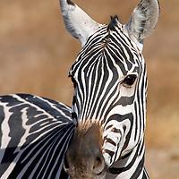 Africa, Kenya, Amboseli. Zebra portrait.