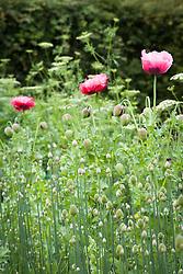 Poppies in the cutting garden. Papaver somniferum, Opium poppy