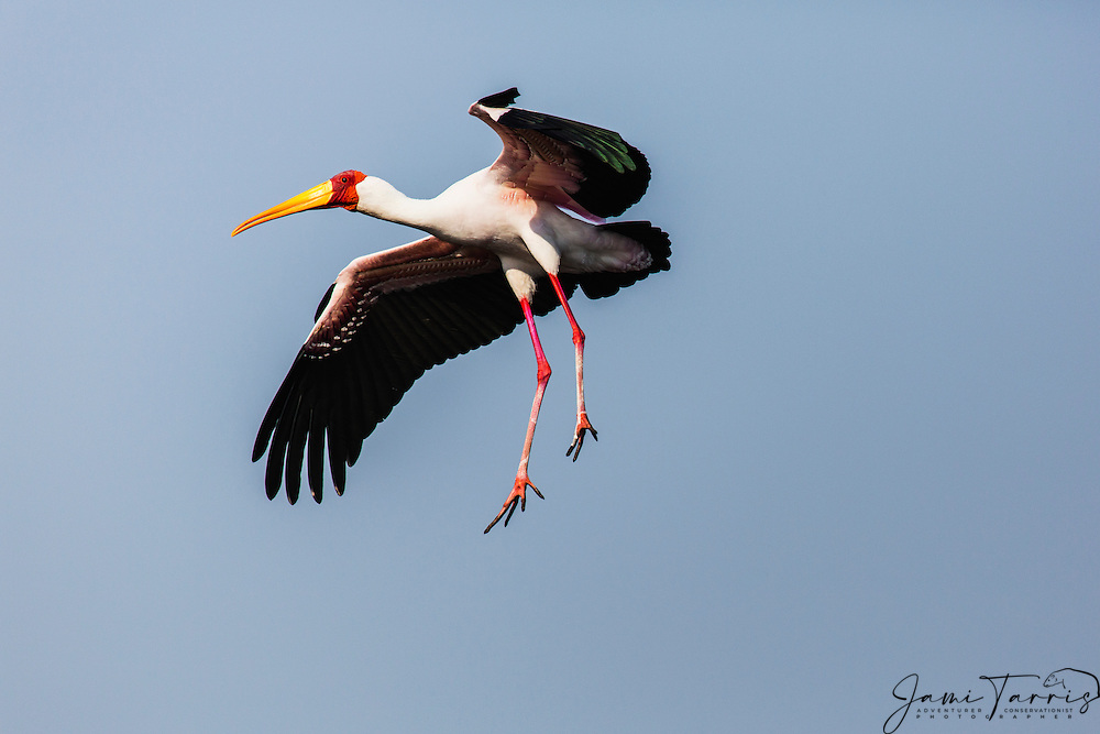 A yellow-billed stork (Mycteria ibis) in the air preparing to land by lowering its legs and soaring,Okavango Delta,Moremi Game Reserve, Botswana,Africa