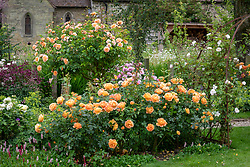 Border with Rosa 'Lady of Shalott' syn. 'Ausnyson' in the foreground and standard Rosa 'Port Sunlight' syn. 'Auslofty' AGM