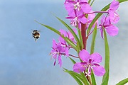 bumble bee fireweed epilobium purple flower colonial plant