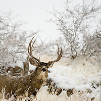 A snowy November morning finds a rutting mule deer buck, pumped up in rut.