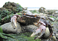 A small crab snaps at the photographer on a public beach in Tacoma WA.