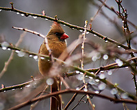 Northern Cardinal. Image taken with a Nikon D300 camera and 80-400 mm VR lens (ISO 280, 400 mm, f/5.6, 1/250 sec).