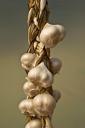 Drying braid of organic elephant garlic
