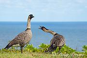 endemic Hawaiian goose or nene, Branta sandvicensis, the Hawaiian state bird, calling, Pali Ke Kua, Princeville, Hawaii ( Central Pacific Ocean )