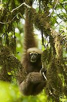 Eastern Hoolock Gibbon (Hoolock leuconedys)