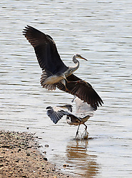Two Herons tussle for fishing rights on the banks Bewl Water near Lamberhurst in Kent.