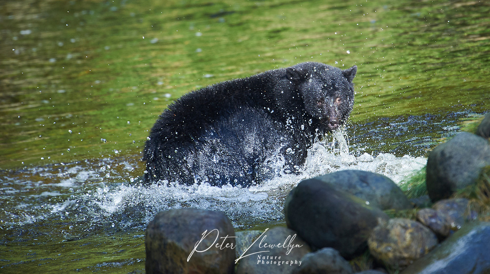 Black Bear (Ursus americanus) attempting to catch salmon, Thornton Fish Hatchery, Ucluelet, British Columbia, Canada