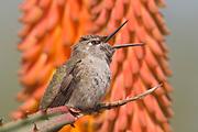 Anna's Hummingbird calling with it's bill open.(Calypte anna).Irvine,California