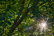 The afternoon sun shines through the overgrown canopy of a Wych elm (Ulmus glabra) tree in Snohomish County, Washington.