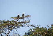 Two African Fish Eagles (Haliaeetus vocifer) on a tree. Photographed in Ethiopia