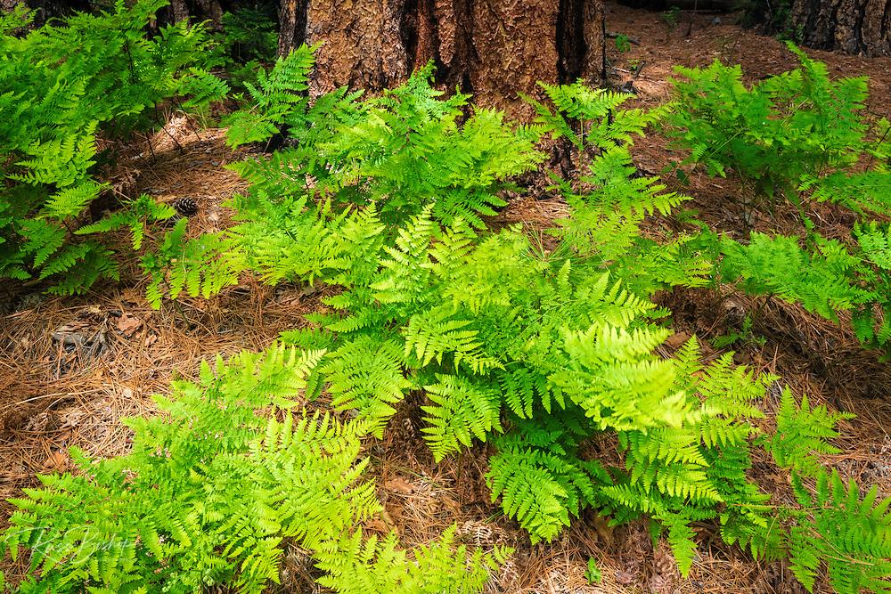 Ferns and pine, Yosemite Valley, Yosemite National Park, California USA