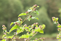Non-native common burdock growing on the lower slopes of the North Cascades Mountains in northern Washington.