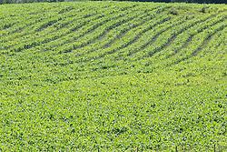 Plantação de soja. FOTO: Jefferson Bernardes/Preview.com