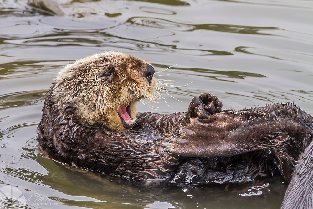Sea Otter, yawning in the Moss Landing Harbor, Highway 1, California