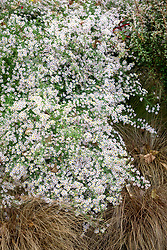 Symphyotrichum ericoides 'Rosy Veil' (formely Aster) with Carex comans bronze-leaved (Bronze New Zealand hair sedge)
