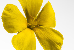 Turnera ulmifolia, Yellow Alder,buttercup#7