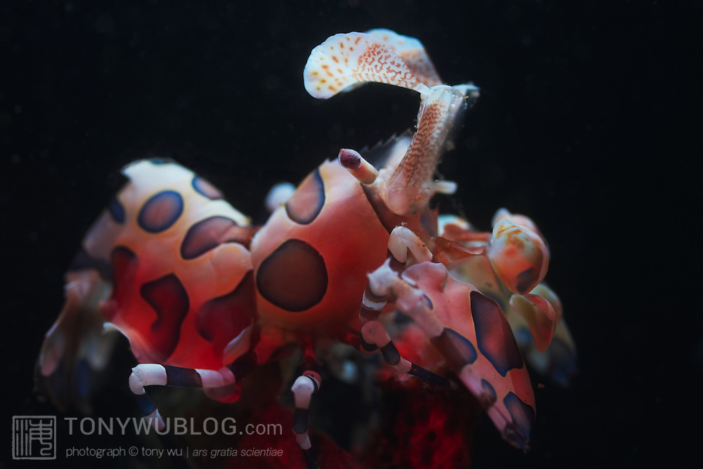 Harlequin shrimp (Hymenocera elegans) at night