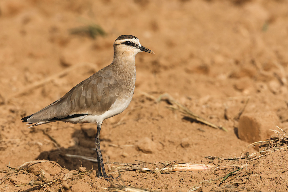 Sociable Lapwing - Vanellus gregarius