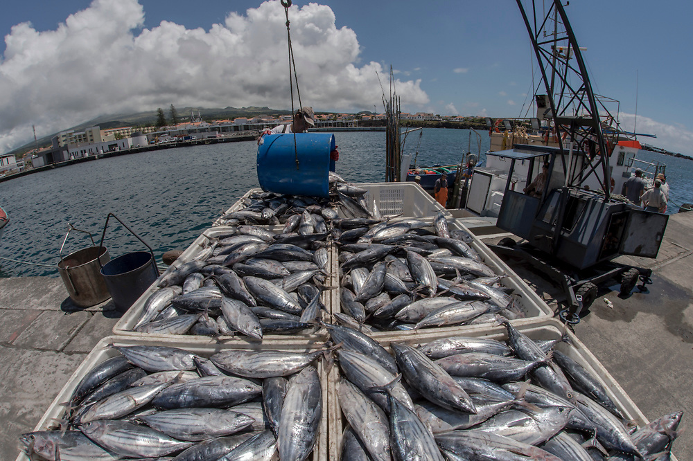 Commercial fishermen unload a large catch of Atlantic Bonito, Sarda sarda, a common species, in one of the ports of Pico Island, Azores, Portugal, North Atlantic Ocean.