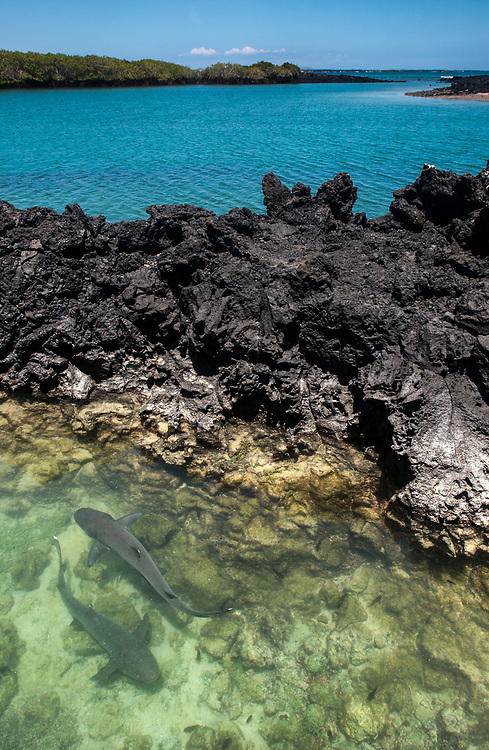 White-tipped Reef Sharks<br /> Triaenodon obesus<br /> Las Tintoreras<br /> Isabela Island<br /> Galapagos Islands<br /> ECUADOR.  South America