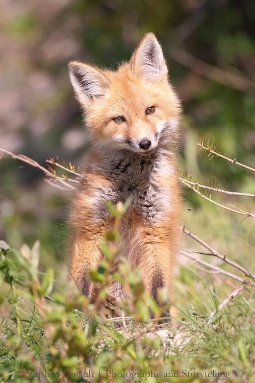 Fox Pup, Waterton Lakes National Park