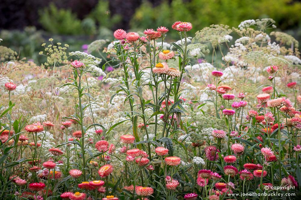 Helichrysum bracteatum Salmon syn. Bracteantha bracteata, Xerochrysum bracteatum - Everlasting flower, Strawflower, Paper daisy, Immortelle