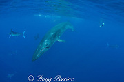 Bryde's whale, Balaenoptera brydei or Balaenoptera edeni, swims past a baitball of sardines, Sardinops sagax, off Baja California, Mexico ( Eastern Pacific Ocean ); California sea lions, underwater photogapher, and striped marlin in background