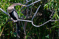 Anhinga in Everglades National Park, Florida, USA