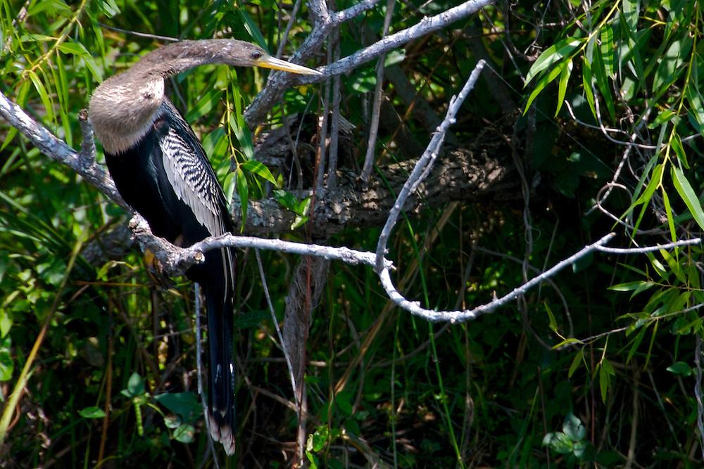 Anhinga in Everglades National Park, Florida, USA