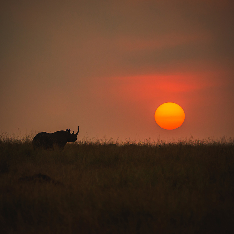 Sunset in the Serengeti with one of the few remaining black rhino silhouetted