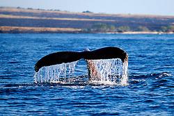 humpback whale fluke-up dive, Megaptera novaeangliae, Big Island, Hawaii, Pacific Ocean