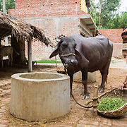 CAPTION: Feeding a buffalo in Baharayen. Under SPEED, this lady and her husband expect to be able to significantly expand their dairy farming business. LOCATION: Baharayen, Faizabad District, Uttar Pradesh, India. INDIVIDUAL(S) PHOTOGRAPHED: Unknown.