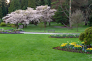 Cherry tree blossoms and gardens near the Rose Garden at Stanley Park in Vancouver, British Columbia, Canada