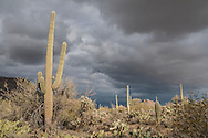 Saguaro National Park west with heavy clouds