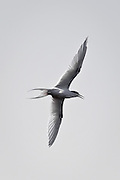 white-fronted tern showing off its fork tail