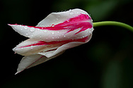 Tulipa 'Marilyn' a magenta and white lily flowered tulip covered with raindrops