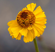 Orange composite flower on Piute Pass trail. John Muir Wilderness, Sierra Nevada, Inyo National Forest, California, USA.