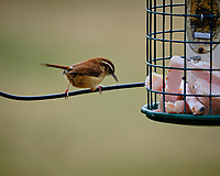 Carolina Wren at a bird feeder. Image taken with a Fuji X-T3 camera and 200 mm f/2 lens and 1.4x teleconverter (ISO 320, 280 mm, f/4, 1/500 sec).