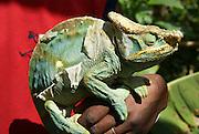 Madagascar, Globe-horned Chameleon (Calumma globifer) shedding skin