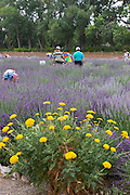 Visitors pick lavender at an annual festival in New Mexico.